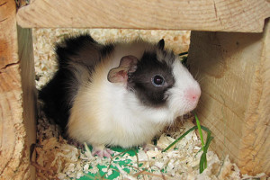 buy guinea pigs in Chillicothe, OH