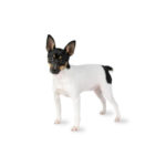 Petland Chillicothe, OH Toy Fox Terrier