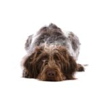Petland Chillicothe, OH German Wirehaired Pointer