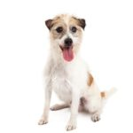 Petland Chillicothe, OH Jack Russel Terrier