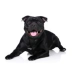 Petland Chillicothe, OH Staffordshire Bull Terrier